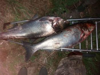 У столиці затримано порушника, який драчем впіймав 32 кг риби, - Київський рибоохоронний патруль