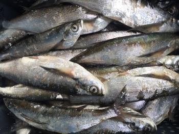 До кінця 2016 року на Канівському водосховищі заборонено вилов чехоні