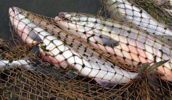 Київський рибоохоронний патруль зловив на гарячому порушників у забороненому для лову місці