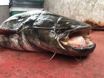 Суди зобов'язали промисловиків сплатити 56,8 тис. грн за скоєні порушення, - Київський рибоохоронний патруль