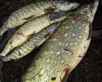 На Канівському водосховищі затримано браконьєрів з «червонокнижною» рибою
