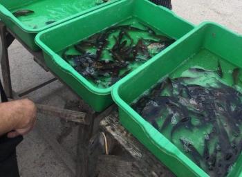 Протягом п'яти днів на ринках області вилучено 115 кг водних біоресурсів, - Київський рибоохоронний патруль
