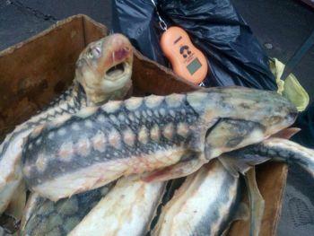 Київський рибоохоронний патруль зупинив продаж 24 кг червонокнижного  осетра на ринку в Києві