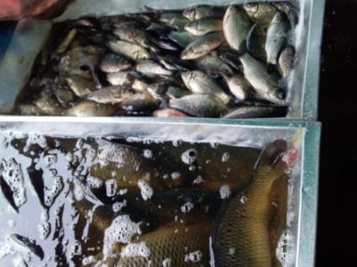 За два дні на ринках Київщини вилучено 370 кг незаконних водних біоресурсів, - Київський рибоохоронний патруль